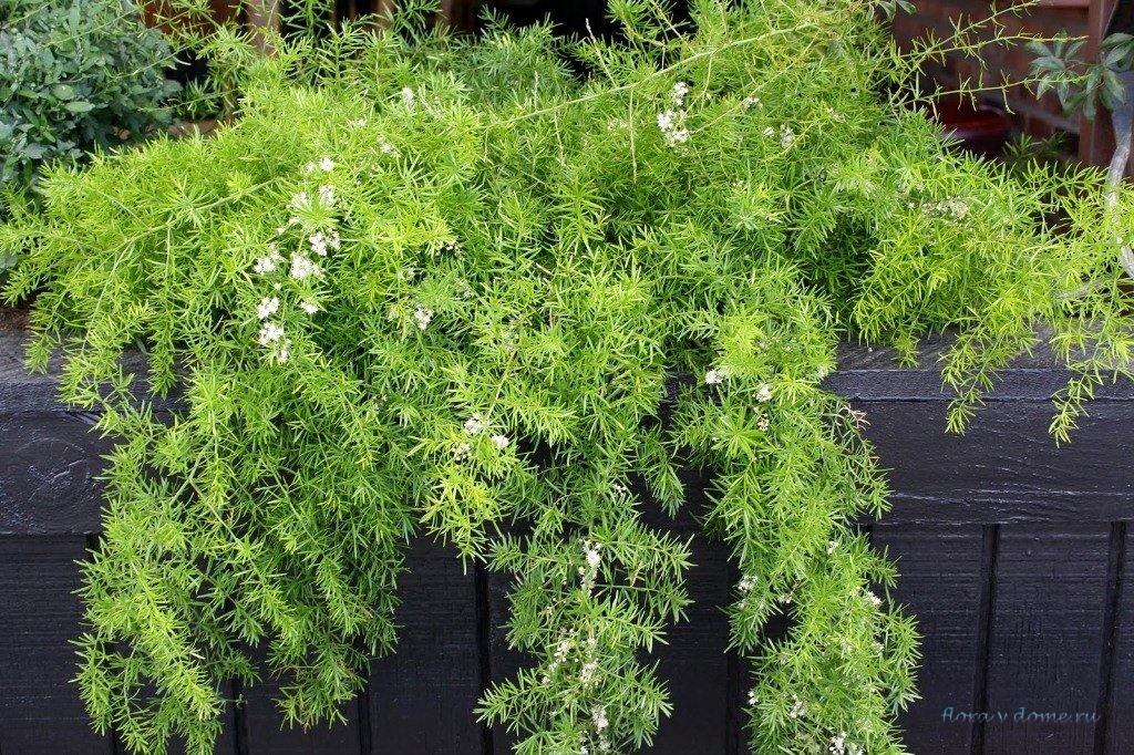 Аспарагус густоцветковый Шпренгера (Asparagus sprengeri)