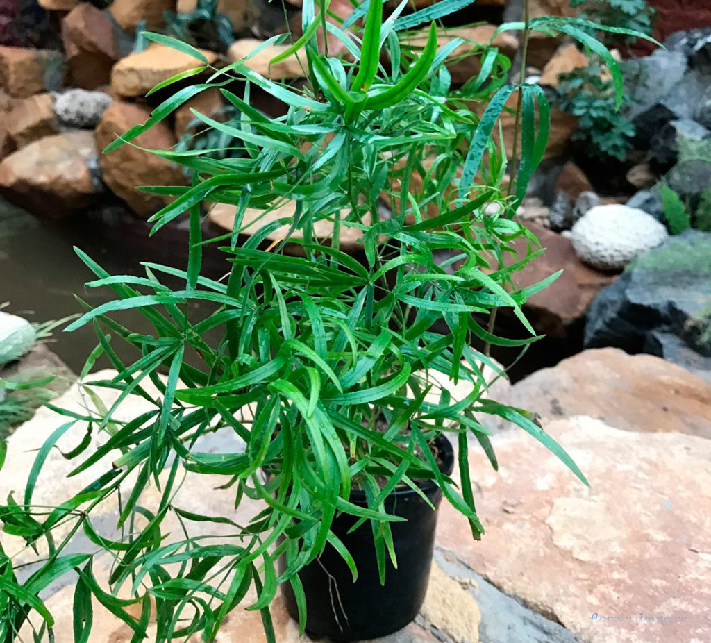 Аспарагус серповидный (Asparagus falcatus)