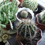 kaktusy-i-sukkulenty