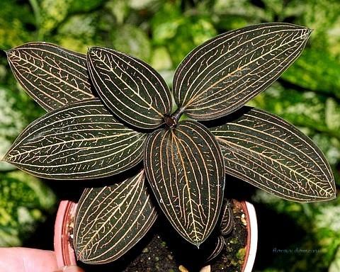 Лудизия драгоценная орхидея уход в домашних условиях
