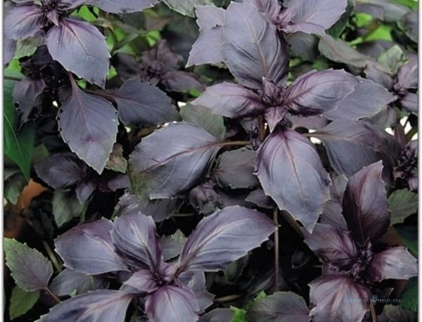 Высотой до 30 см, листья сине-фиолетовые, по краям слегка пильчатые и волнистые, с корично-имбирным запахом