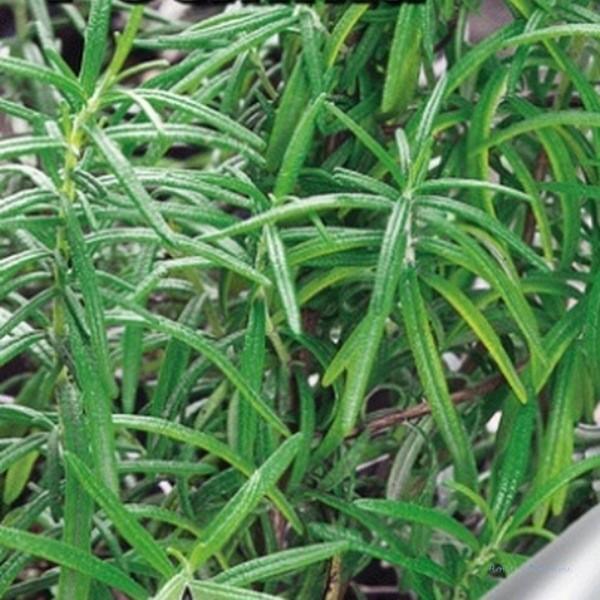 Густооблиственные кустики. Листья тёмно-зеленые с повышенным содержание эфирных масел. Вырастает до 40-50 см.