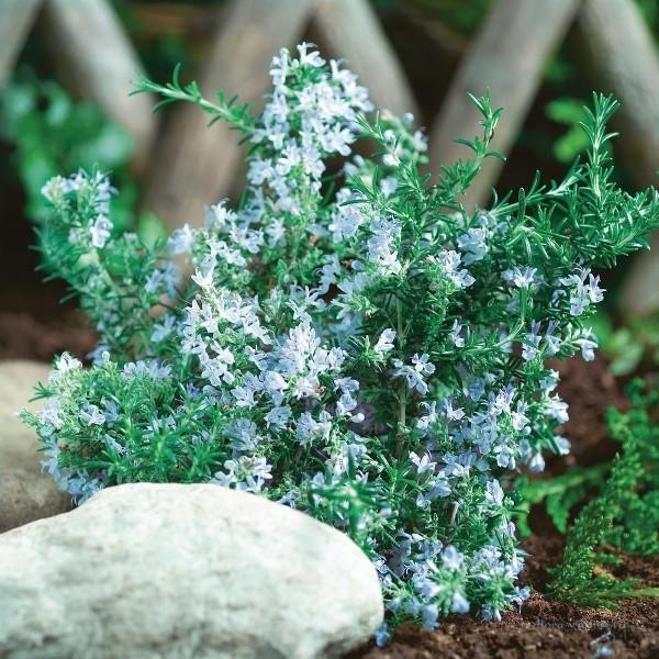 Хорош для садового выращивания. Зимостоек (выдерживает до -15С). Листья серо-зелёные, цветы - голубовато-фиолетового цвета.