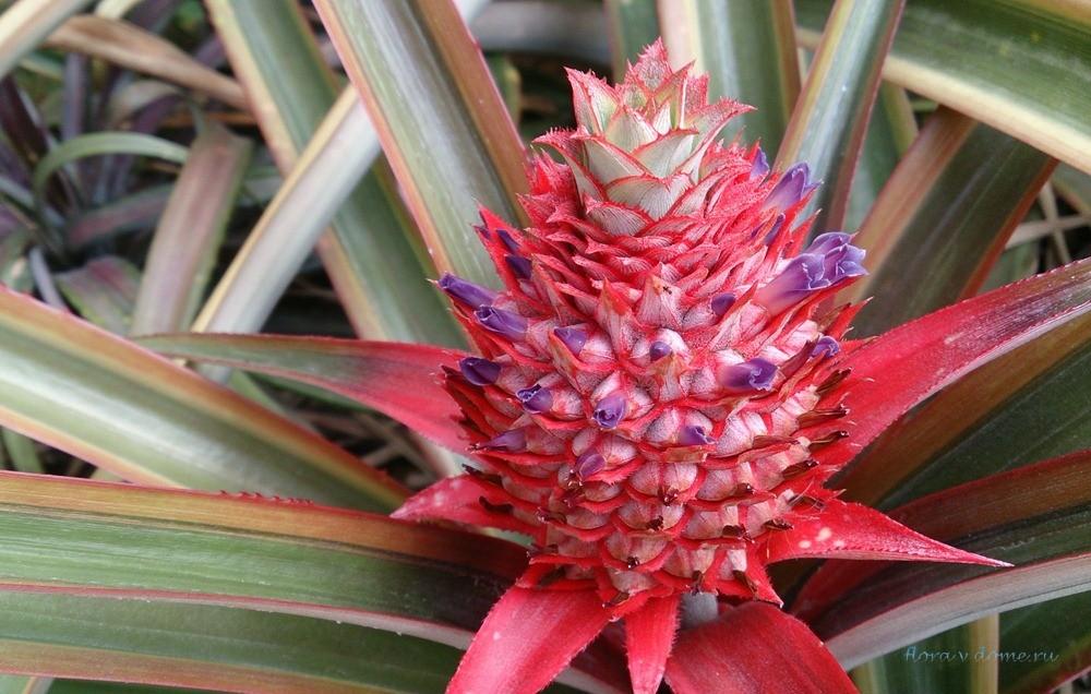 Как вырастить ананас дома из верхушки: пошаговая инструкция как посадить фрукт в домашних условиях