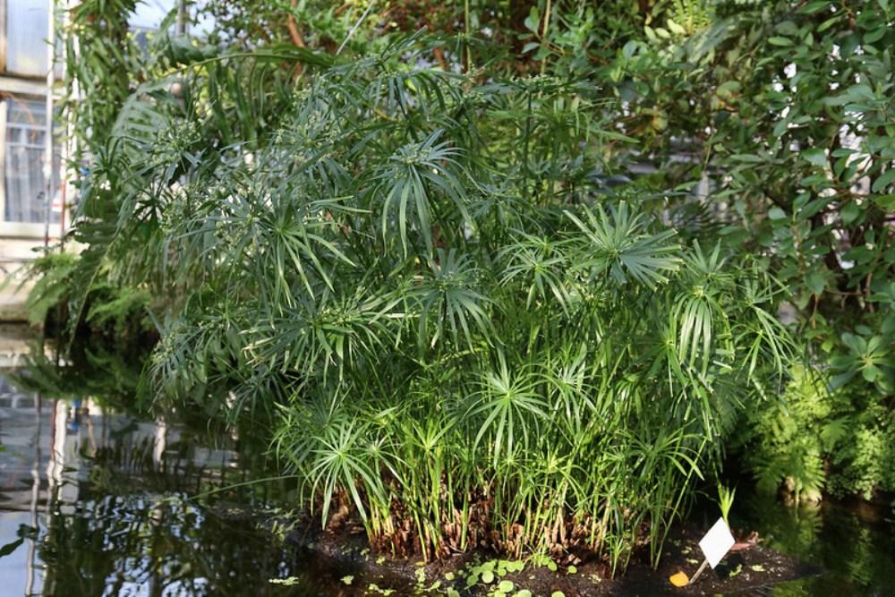 Cyperus-alternifolius-Maja-Dumat-Botanicheskij-Sad-Lejptsig